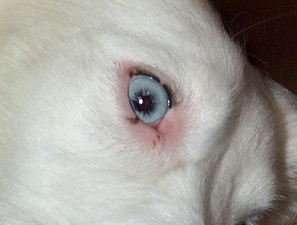 Aussie Eye Defects