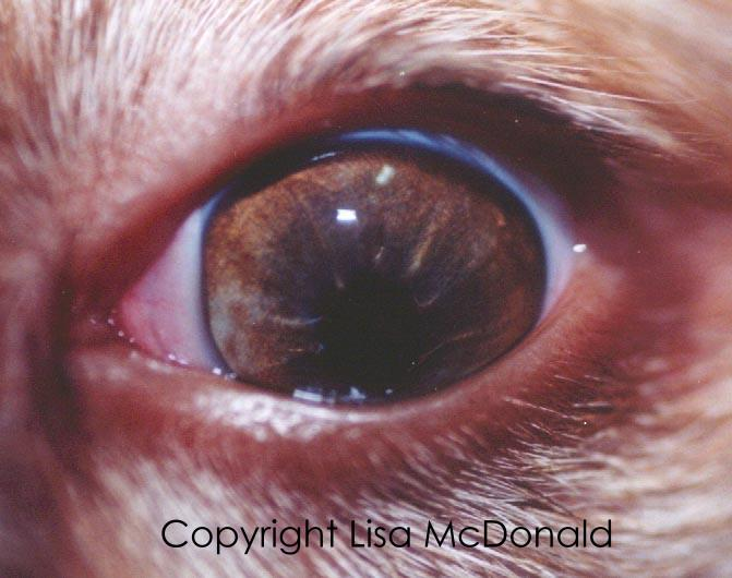 Cataracts In Dogs Red