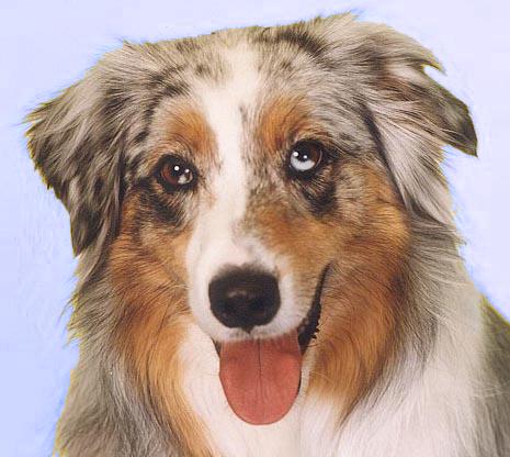 Grey Coloured Dog Breeds
