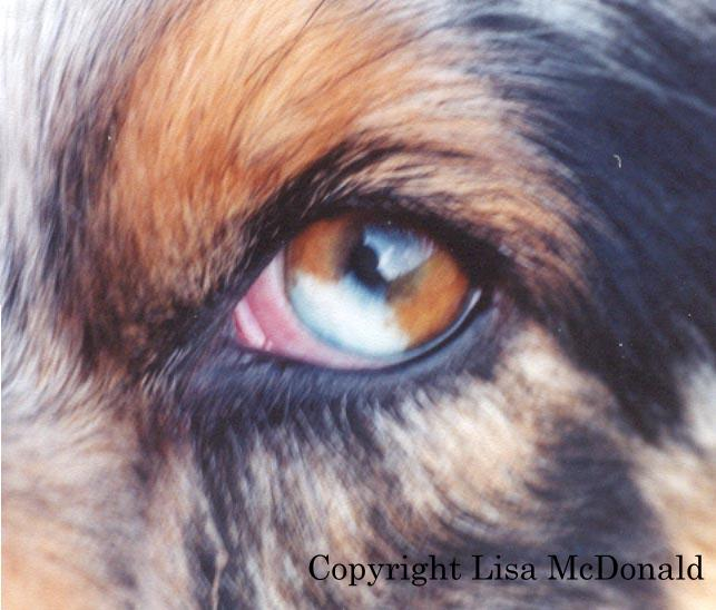 White Spot On Iris Of Dog S Eye