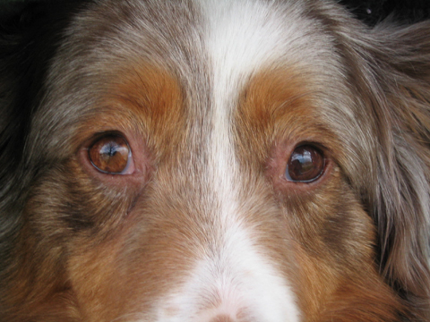 Which Dog Breeds Have Hazel Eyes