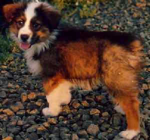 Australian shepherd colors pictures — photo 1